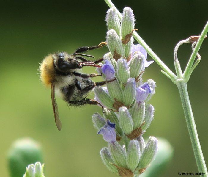 Balkonbesuch von einer Biene Makroaufnahme | Foto © Marcus Müller